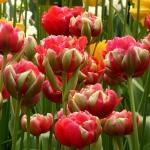 Тюльпаны Реноун Юник