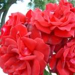 Розы Шато д Амбоиз