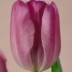 Тюльпаны Блау Вымпел
