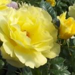 Розы Голдреген