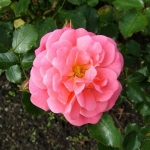 Розы Блухендес Барок