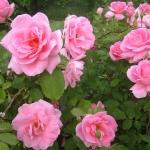 Розы Прери Принцесс