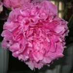Пион Поздний Розовый
