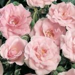 Розы Пеарл Мирато