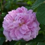 Розы Тревор Гриффитс