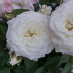 Розы Алабастер