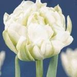Тюльпаны Уайт Перл