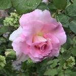 Розы Маринетте