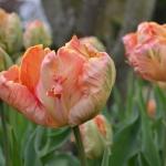 Тюльпаны Салмон Пэррот