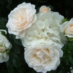 Розы Карт Бланш
