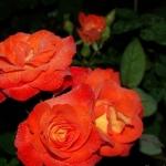 Розы Клос Флойри дОр