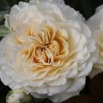 Розы Лилиан Бэйлис