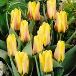 Тюльпаны Ламораль ван Эгмонд