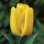 Тюльпаны Йеллоу Кинг