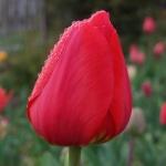 Тюльпаны Парад