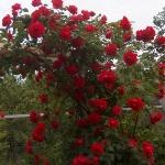 Розы Блейз Супериор