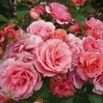 Les roses Fri Spirit