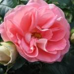 Розы Джет Сет