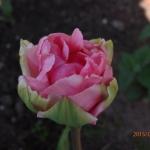 Тюльпаны Кристо