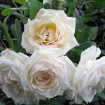 Розы Мартин Жило