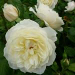 Розы Парки