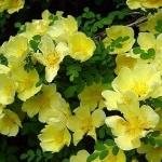 Розы Канары Берд