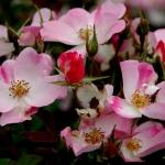Розы Раш