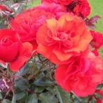 Розы Тойо