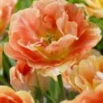 Тюльпаны Дримлайн