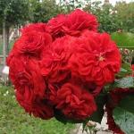 Розы Роуз вон Олденбург
