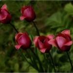 Тюльпаны Рондо