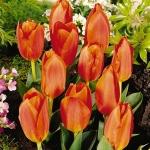 Тюльпаны Тикибад