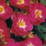 Розы Рози Флоршоу