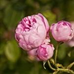 Розы Алнвик Роуз