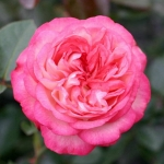 Розы Антике