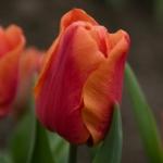 Тюльпаны Оранж Монарх