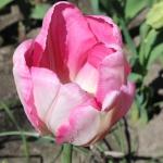 Тюльпаны Нью Дизайн
