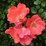 Розы Докур Норманде