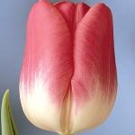 Тюльпаны Розарио