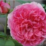 Розы Радио Таймс