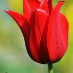 Тюльпаны Эсми