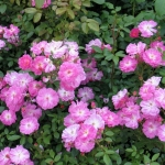 Розы Лавендер Кавер