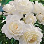 Розы Пуре Перфум