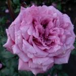 Розы Клод Брассер