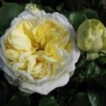 Розы Кронпринцесс Мэри