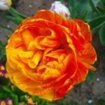 Тюльпаны Сан Лавер