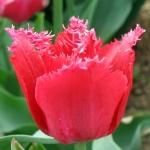 Тюльпаны Джетфайер