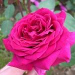 Розы Домейн Диттьер