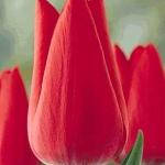 Тюльпаны Дэйлайт