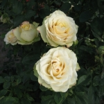 Розы Камелеон